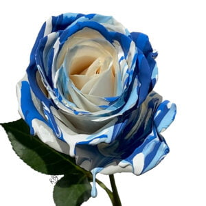 white rose with blue hues